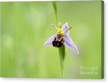 Bee Orchid Canvas Print by Tim Gainey