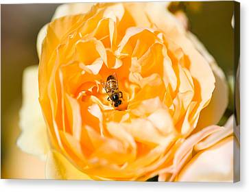 Bee Pollinating A Yellow Rose, Beverly Canvas Print