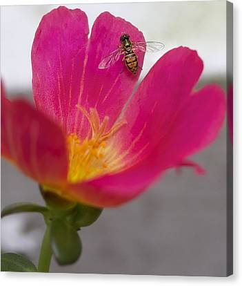Bee Resting On A Pink Flower Canvas Print