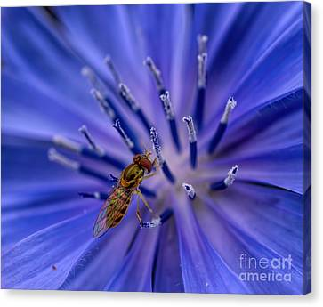Bee - Wildflower - Chicory Canvas Print by Henry Kowalski