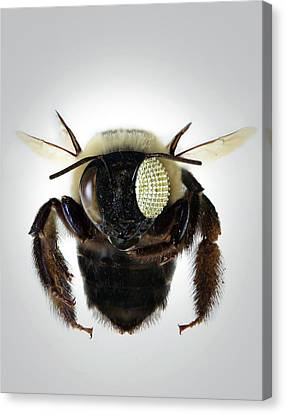 Bee With Electronic Compound Eye Canvas Print by Professor John Rogers, University Of Illinois