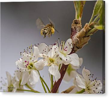 Bee Working The Bradford Pear 2 Canvas Print by Allen Sheffield