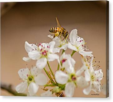 Bee Working The Bradford Pear 4 Canvas Print by Allen Sheffield