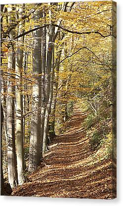 Beech Avenue In Fall Canvas Print by Peter Lloyd
