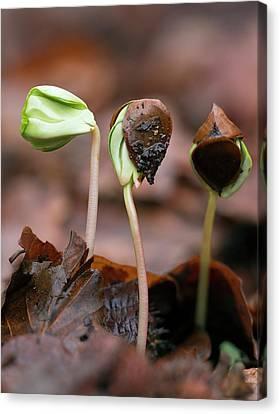 Beech (fagus Sylvatica) Tree Seedlings Canvas Print
