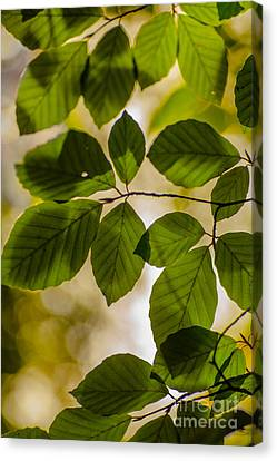 Beech Leaves And Bokeh Canvas Print by Jan Bickerton