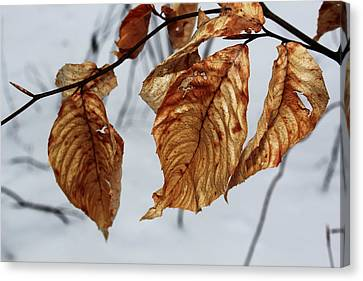 Beech Leaves Canvas Print by Andrew Pacheco