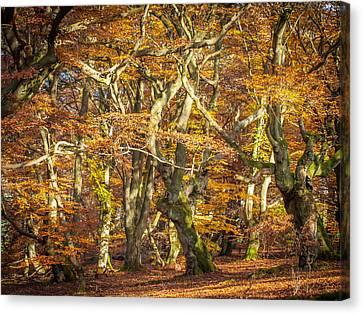 Beech Tree Group In Autumn Light Canvas Print by Martin Liebermann