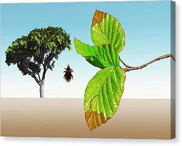 Beech Weevil Canvas Print