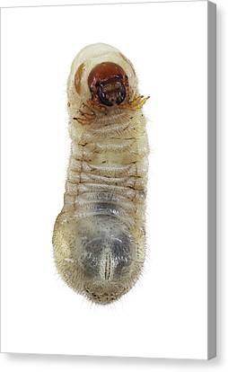 Cut-outs Canvas Print - Beetle Larva by F. Martinez Clavel