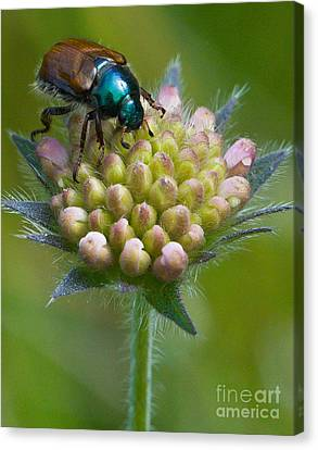 Beetle Sitting On Flower Canvas Print by John Wadleigh