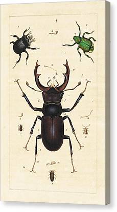 Beetles Canvas Print by King's College London