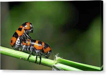 Beetles Mating Canvas Print