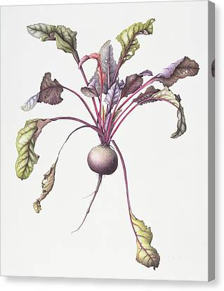 Produce Canvas Print - Beetroot by Margaret Ann Eden