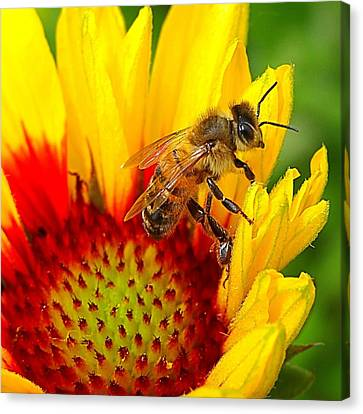 Beezy Bee Canvas Print by Nick Kloepping