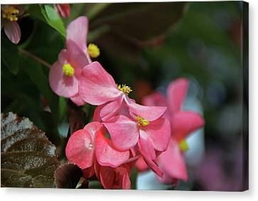 Begonia Beauty Canvas Print by Ed  Riche