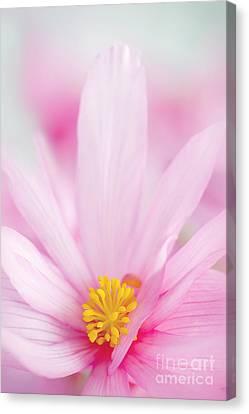 Begonia Boliviensis Pink Canvas Print