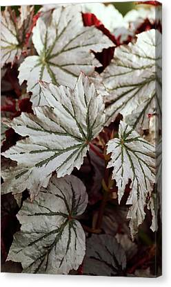 Begonia 'looking Glass' Canvas Print by Maria Mosolova