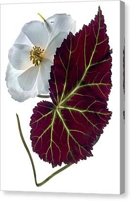 Begonia White Canvas Print