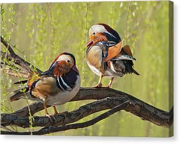Beijing, China, Two Male Mandarin Duck Canvas Print