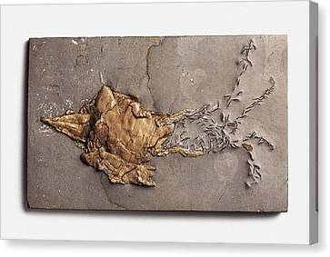 Belemnotheutis Antiqua Fossilised In Clay Canvas Print