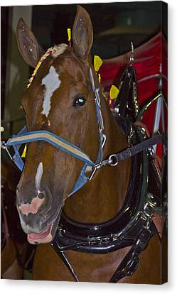 Belgian Draft Horse Canvas Print