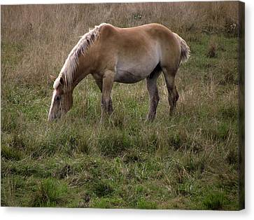 Belgian Draft Horse Canvas Print by Joyce  Wasser