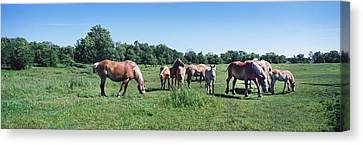 Belgium Horses Grazing In Field Canvas Print by Panoramic Images