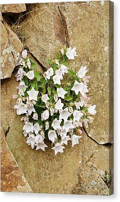 Bellflowers (campanula Betulifolia) Canvas Print by Bob Gibbons