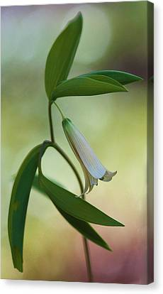Bellwort - Spring 2013 Canvas Print by Thomas J Martin