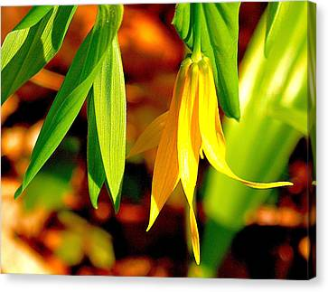 Bellwort On Display Canvas Print by Susan Crossman Buscho