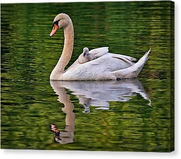 Swan Canvas Print - Beloved Hitchhiker by Susan Candelario
