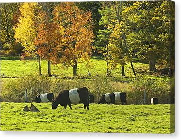Belted Galloway Cows Grazing On Grass In Rockport Farm Fall Maine Photograph Canvas Print by Keith Webber Jr