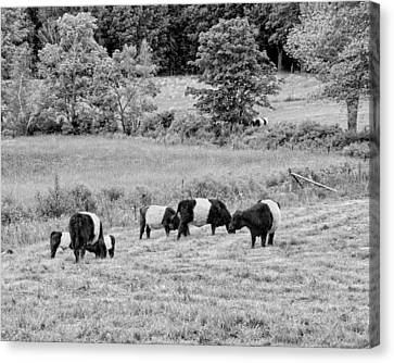 Belted Galloway Cows Rockport Maine Black Andc White Photograph Canvas Print by Keith Webber Jr