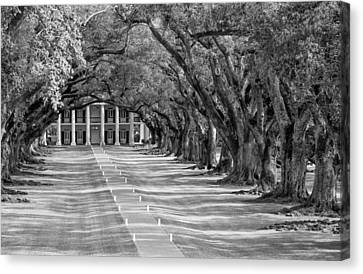 Beneath Live Oaks Bw Canvas Print by Steve Harrington