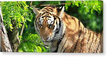 Tiger Canvas Print - Bengal Tiger Portrait by Dan Sproul