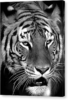 Bengal Tiger In Black And White Canvas Print by Venetia Featherstone-Witty