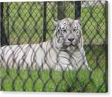 Bengal White Tiger Canvas Print by Sonali Gangane