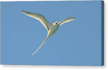 Bermuda Longtail In Flight Canvas Print
