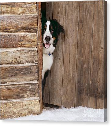 Dog At Door Canvas Print - Bernese Mountain Dog At Log Cabin Door by John Daniels