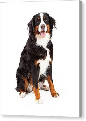 Bernese Mountain Dog Sitting Canvas Print by Susan Schmitz