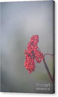 Berries In Fog Canvas Print by Dan Friend
