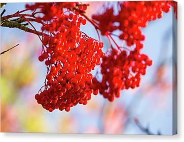 Berries On A Rowan Tree Canvas Print