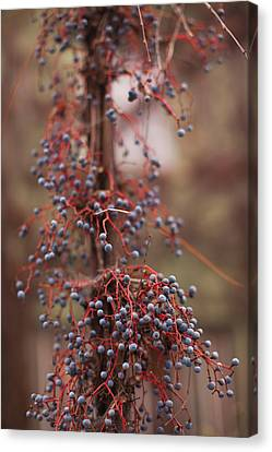 Sonoma County Canvas Print - Berries On A Tree, Healdsburg, Russian by Panoramic Images