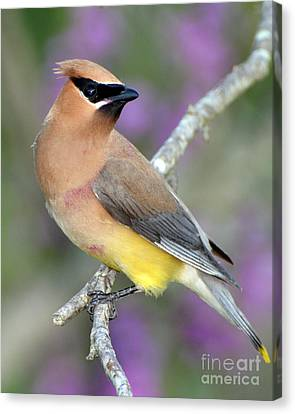 Berry Stained Waxwing Canvas Print by Stephen Flint