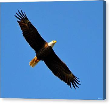 Best Bald Eagle On Blue Canvas Print