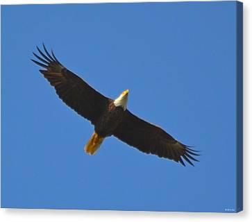 Best Soaring Bald Eagle Canvas Print by Jeff at JSJ Photography