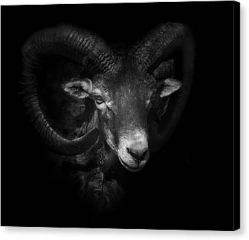 Between Horns Canvas Print