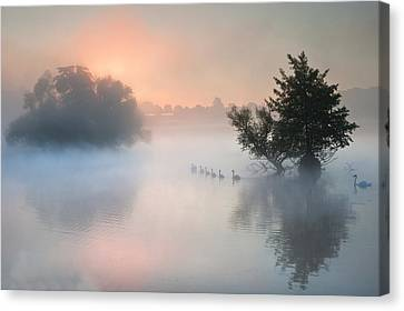 Bevy Herd Of Swans On Misty Foggy Autumn Fall Lake Canvas Print by Matthew Gibson