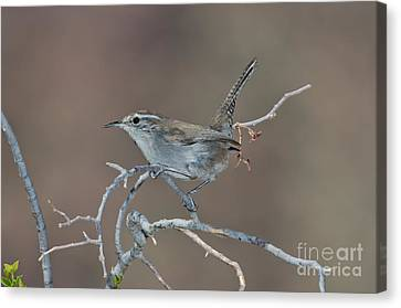 Bewicks Wren In Tree Canvas Print by Anthony Mercieca